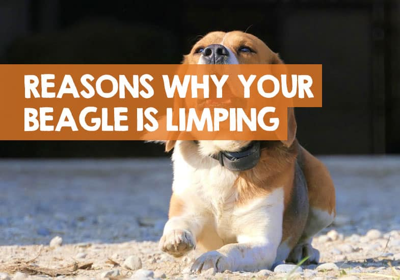 why your beagle is limping