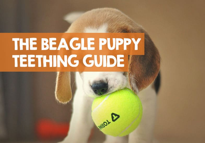 beagle teething