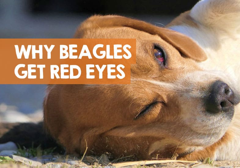 why beagles have red eyes