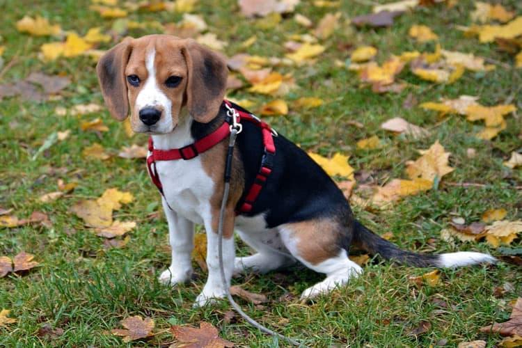 beagle toilet training