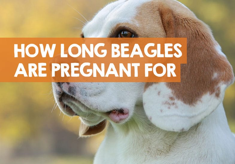 How Long Are Beagles Pregnant For