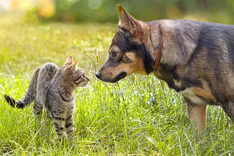 is parvo in dogs contagious to cats