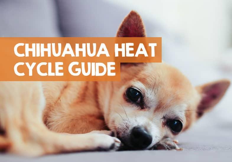 chihuahua heat cycle signs