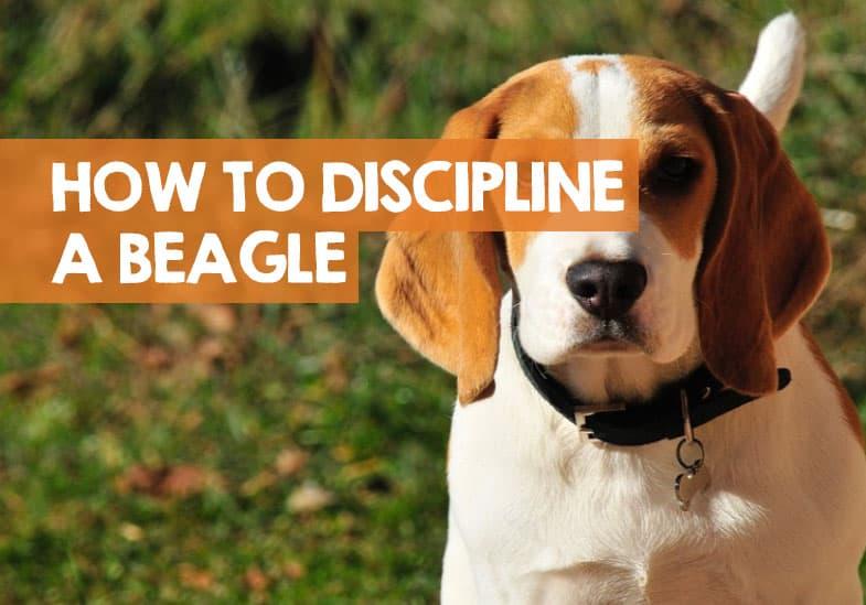 how to discipline a beagle