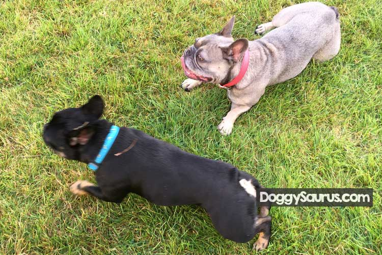 spayed female dog still attract males