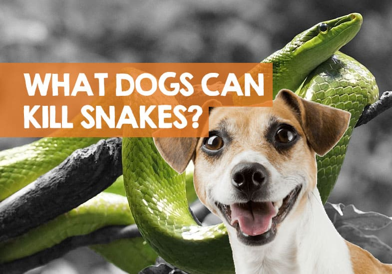 what kind of dogs kill snakes