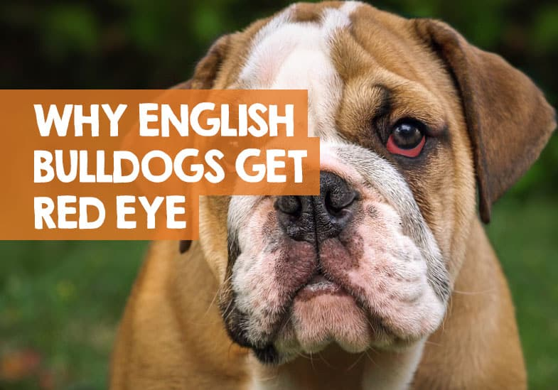 why english bulldogs get red eyes