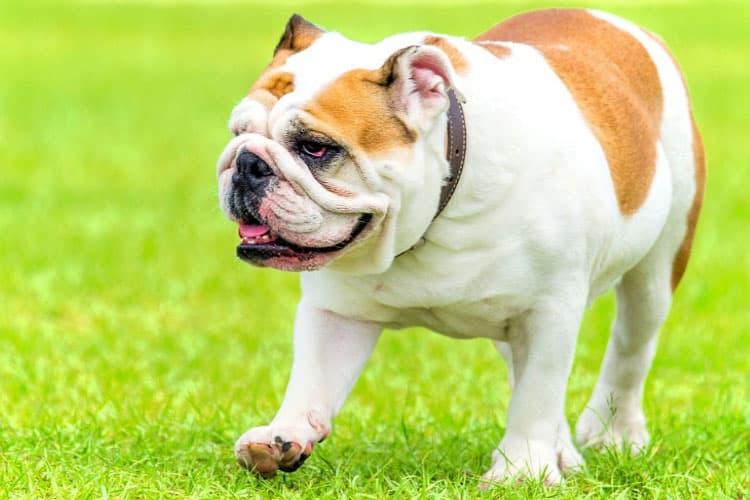 English Bulldog limping after waking up