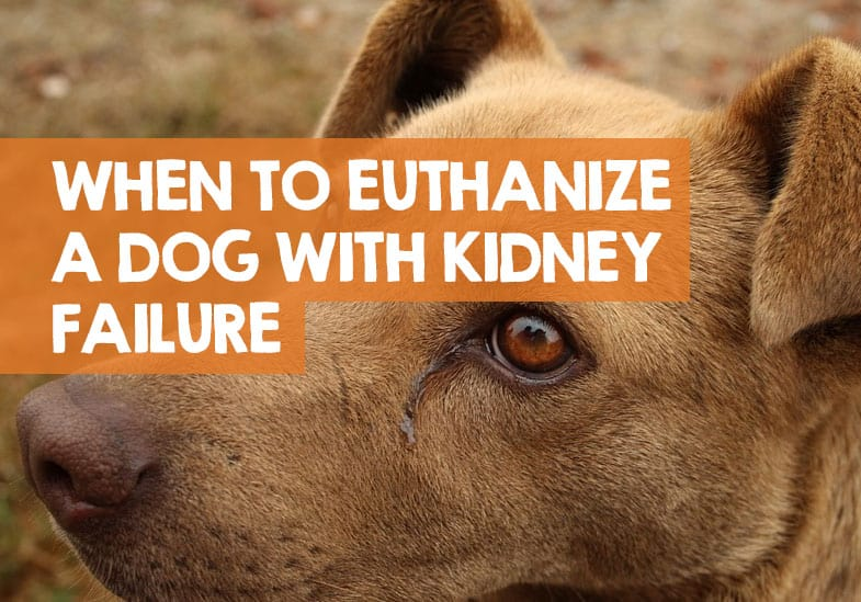 When To Euthanize A Dog With Kidney Failure The Right Time