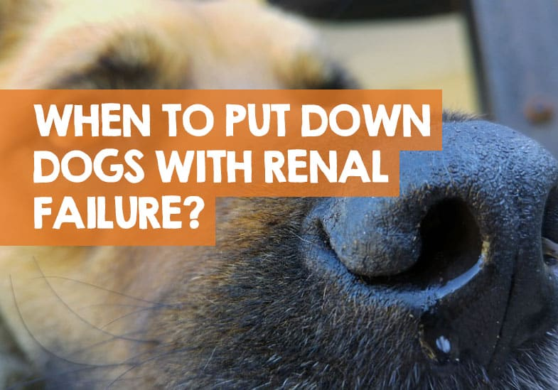 When To Euthanize A Dog With Renal Failure The Right Time