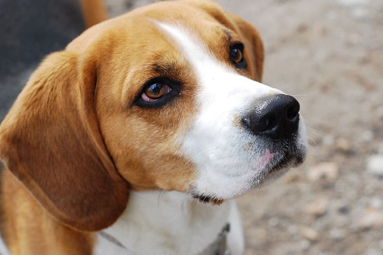 beagle pregnancy days duration