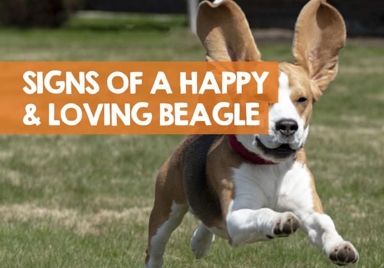 happy loving beagle