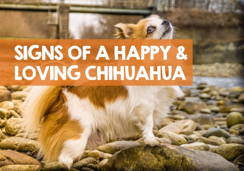 how to know chihuahua is happy