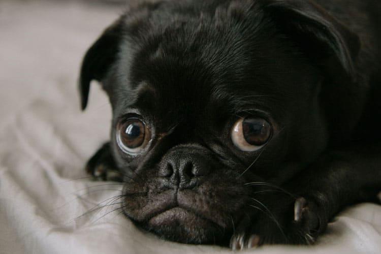 how do you housebreak a pug puppy
