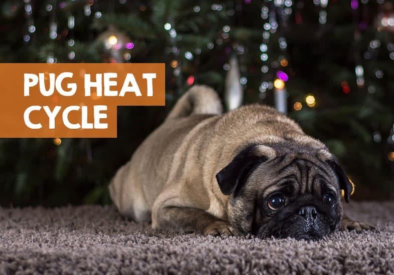 pug heat cycle