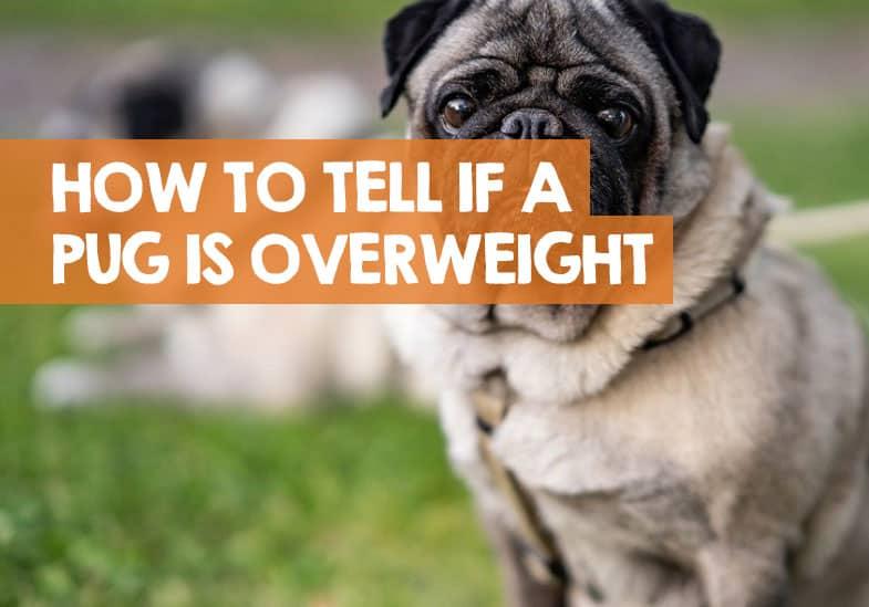 pug weight