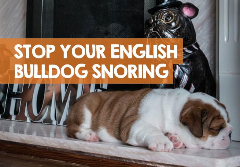 How to Stop an English Bulldog Snoring