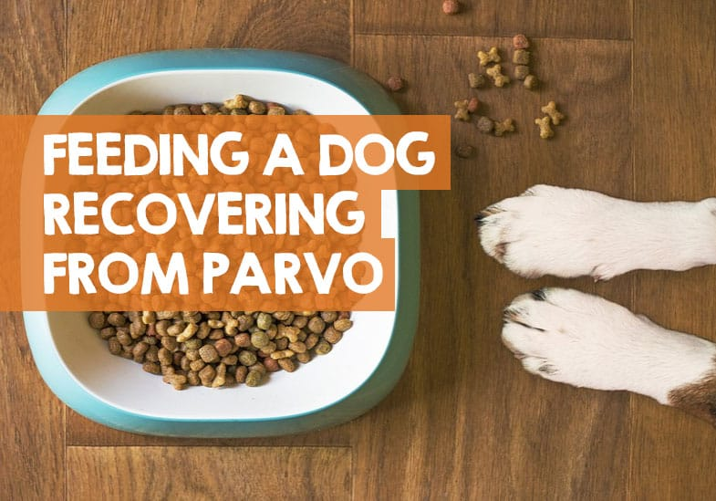 what to feed a dog with parvo