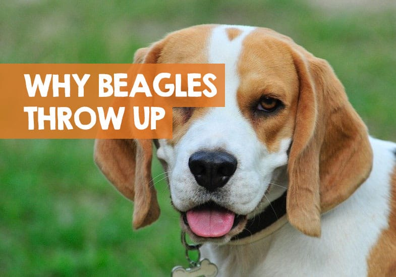 why my beagle is throwing up