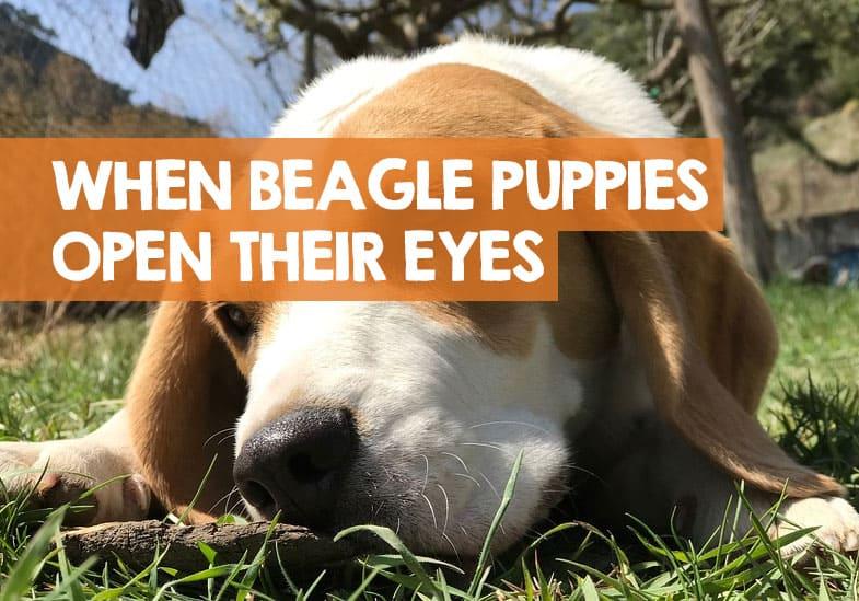 when do beagle puppies open their eyes