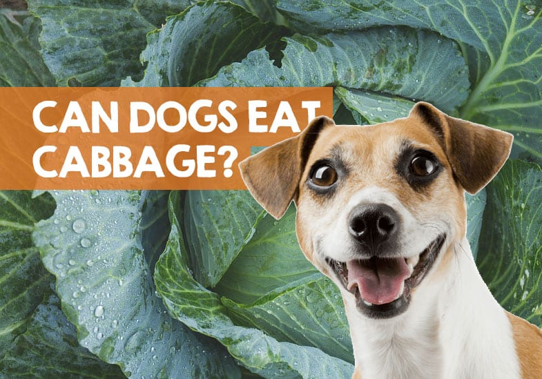 can dogs eat cabbage leaves
