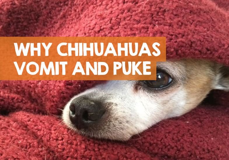 why chihuahuas throw up