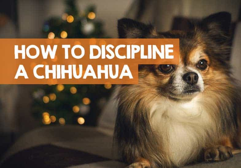 how to discipline a chihuahua