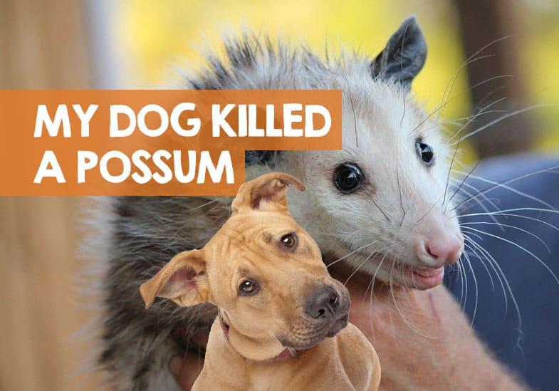 my dog killed a possum should i be worried