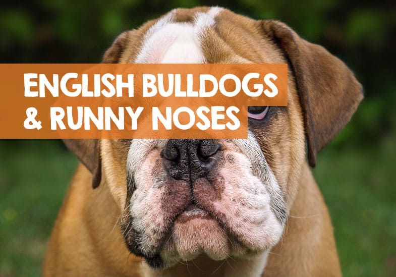 english bulldog runny noses