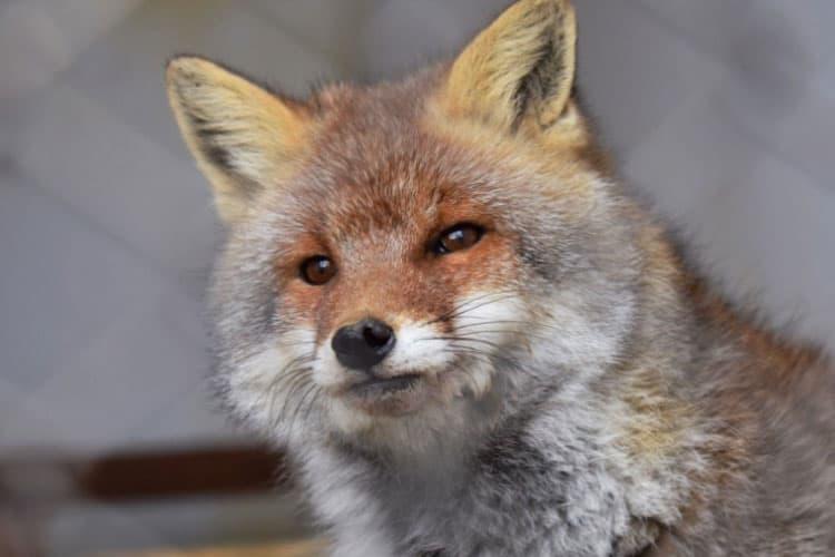 Will a fox attack a dog