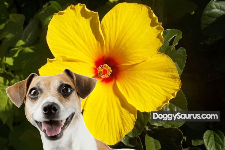 are hibiscus leaves poisonous to dogs