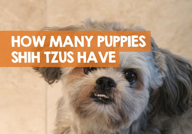 how many puppies do shih tzus have normally