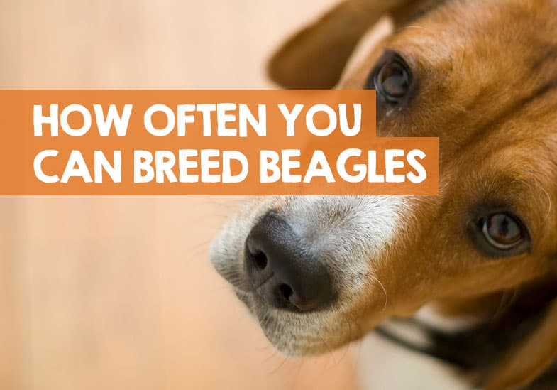 how many times you can breed a beagle