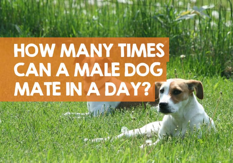 How Many Times Can A Male Dog Mate In A Day Month Year