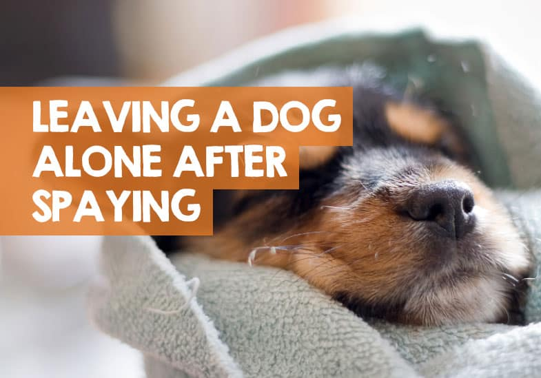 Can I Leave My Dog Alone After Being Spayed