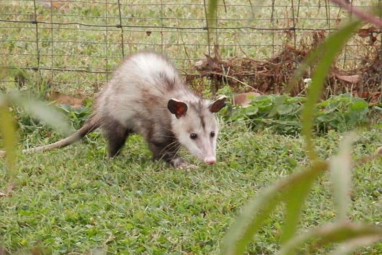 my dog killed a possum