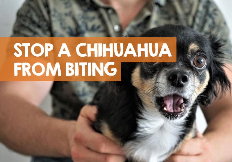 how to stop a chihuahua biting