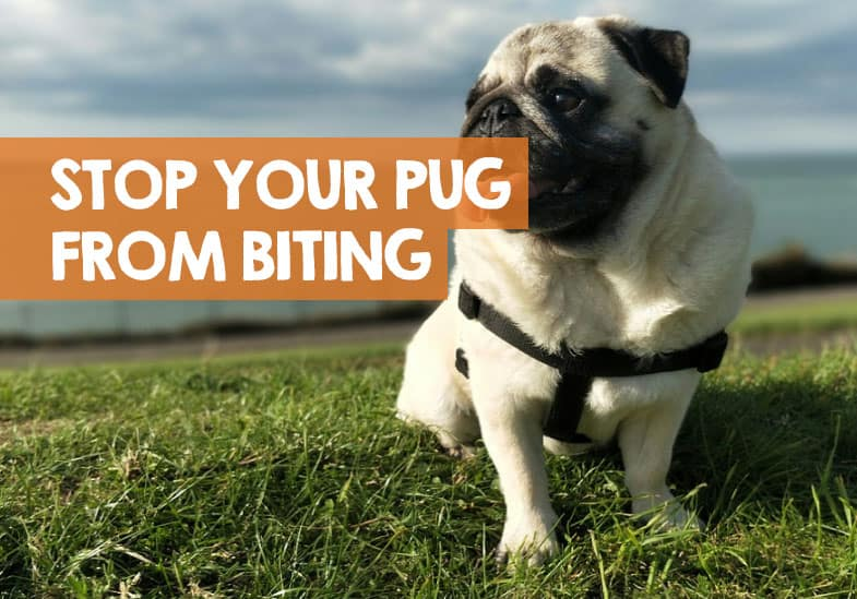 how to stop a pug biting
