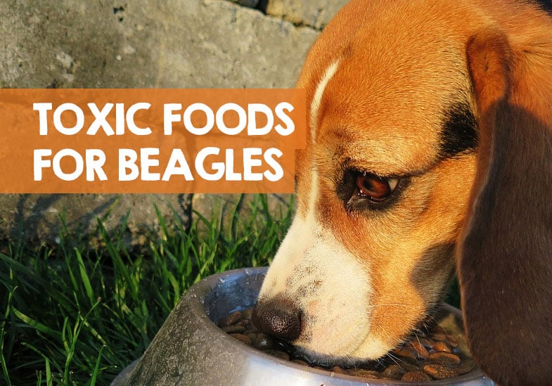 foods bad for beagles