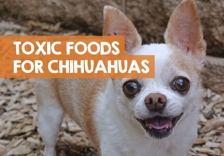 foods bad for chihuahuas