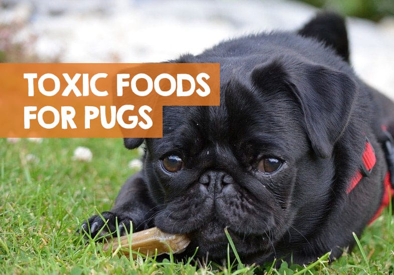Poisonous foods for Pugs