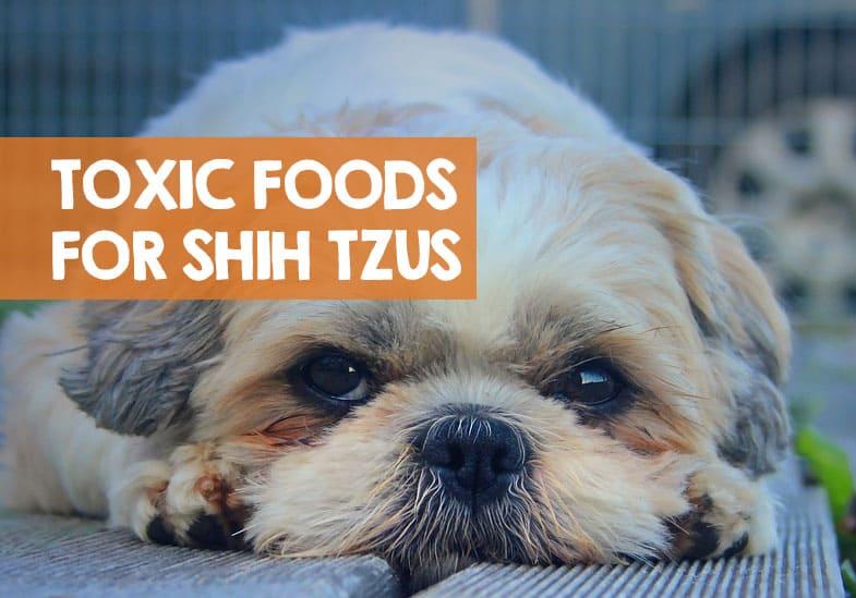 bad foods for shih tzus