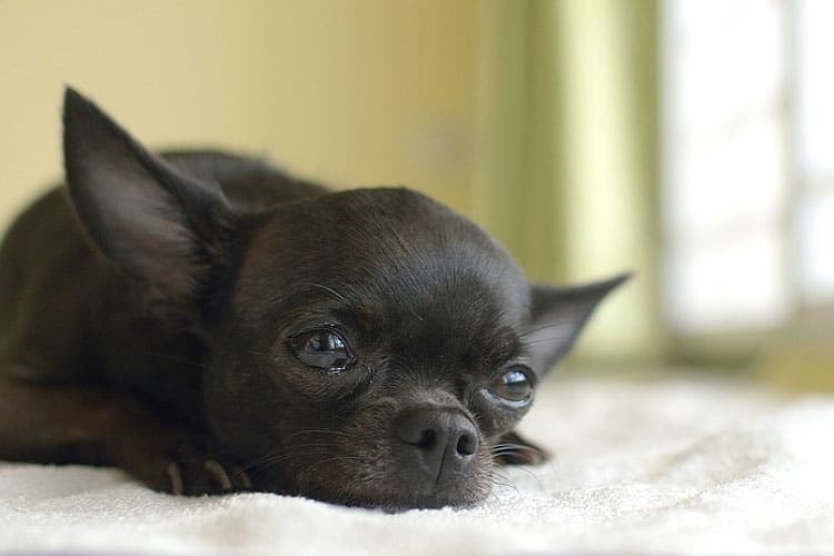 do chihuahuas calm down after neutering