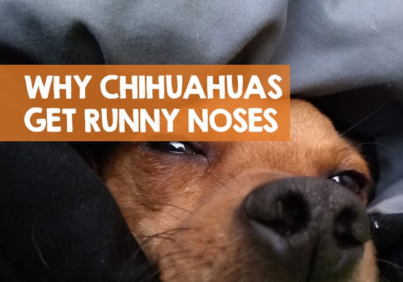 why my chihuahua has a runny nose