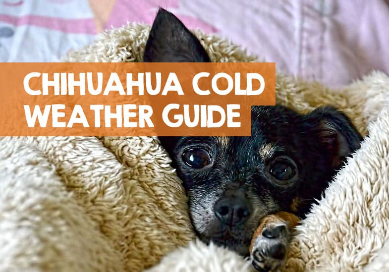 chihuahuas in cold weather