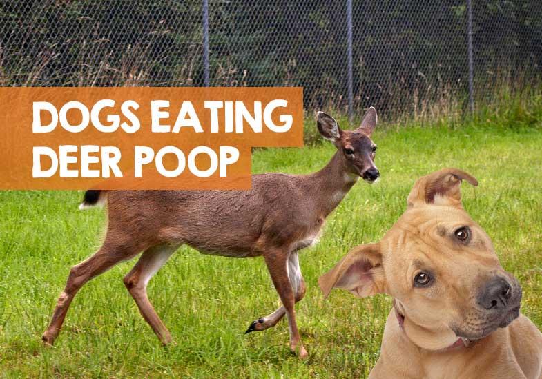 Why Do Dogs Eat Deer Poop