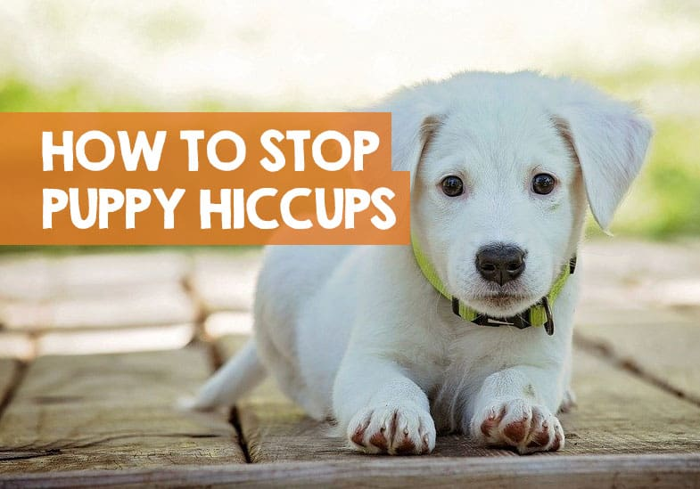 10++ Why does my puppy get hiccups all the time info