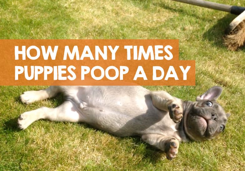 How Many Times a Day Should a Puppy Poop