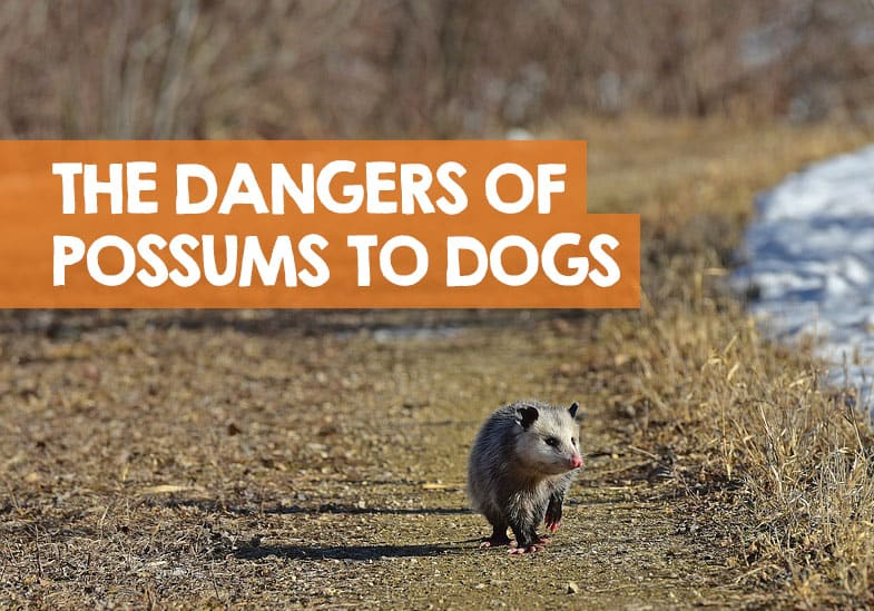 are possums dangerous to dogs
