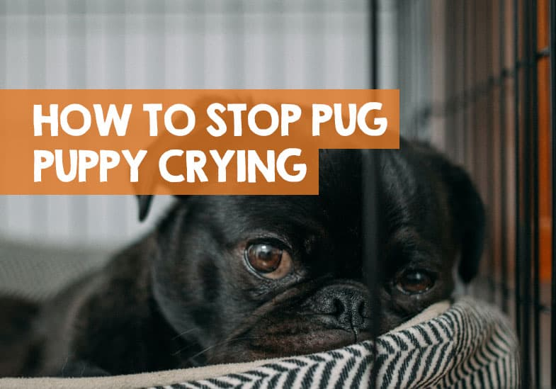 pug puppy crying